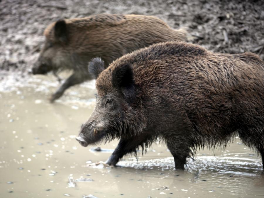 Landwirte fürchten Verluste wegen Schweinepest
