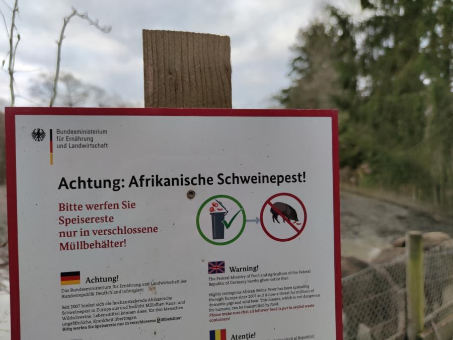 Afrikanische Schweinepest im Landkreis Meißen nachgewiesen