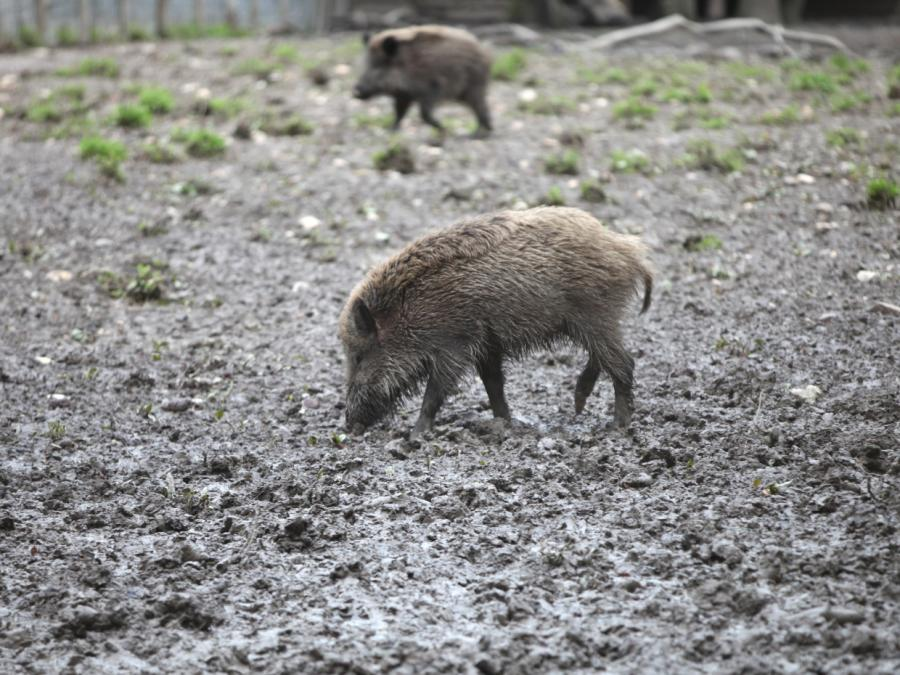 Weitere Schweinepest-Fälle in Brandenburg bestätigt