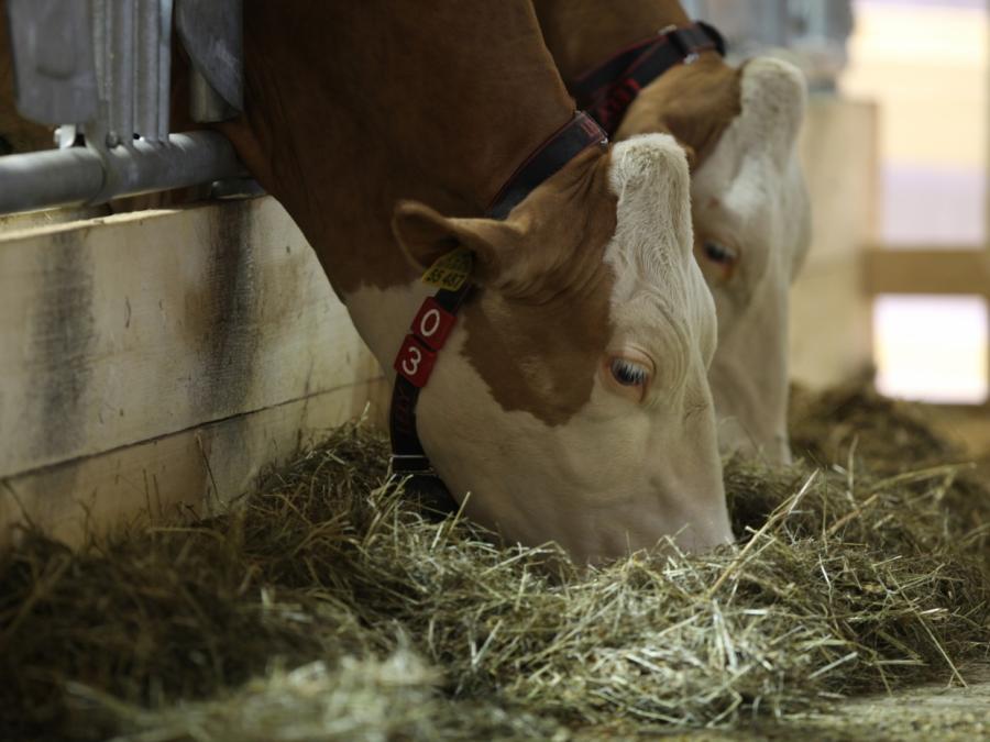 Immer mehr Rinder landen in der Tierverwertung