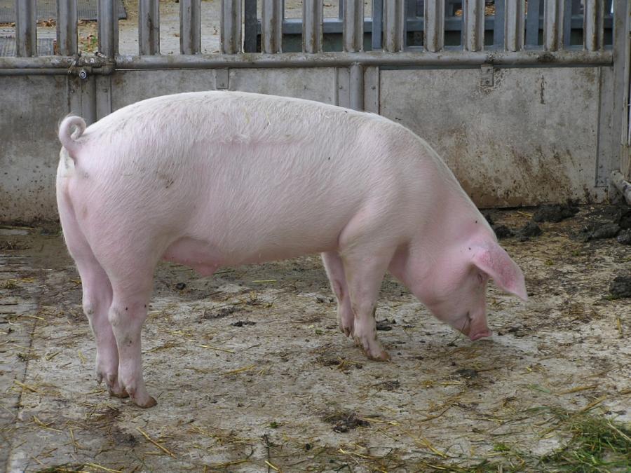 Täglich verenden 37.000 Schweine