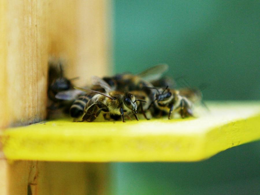 Imkerbund: Bienen nicht mit Honig füttern