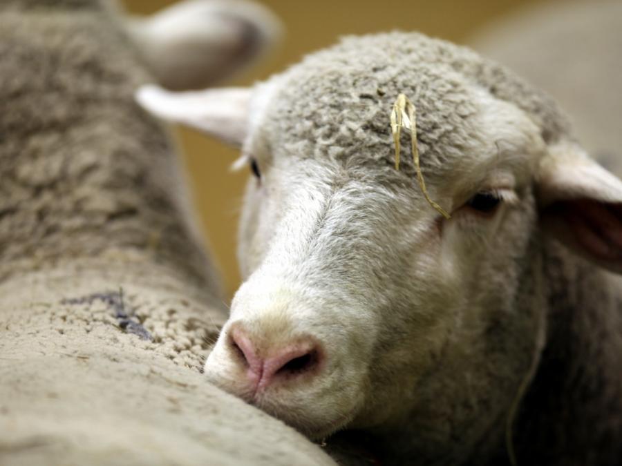 Bauernpräsident erwartet weniger Tierhaltung in Deutschland